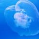 Ohrenqualle im Meer